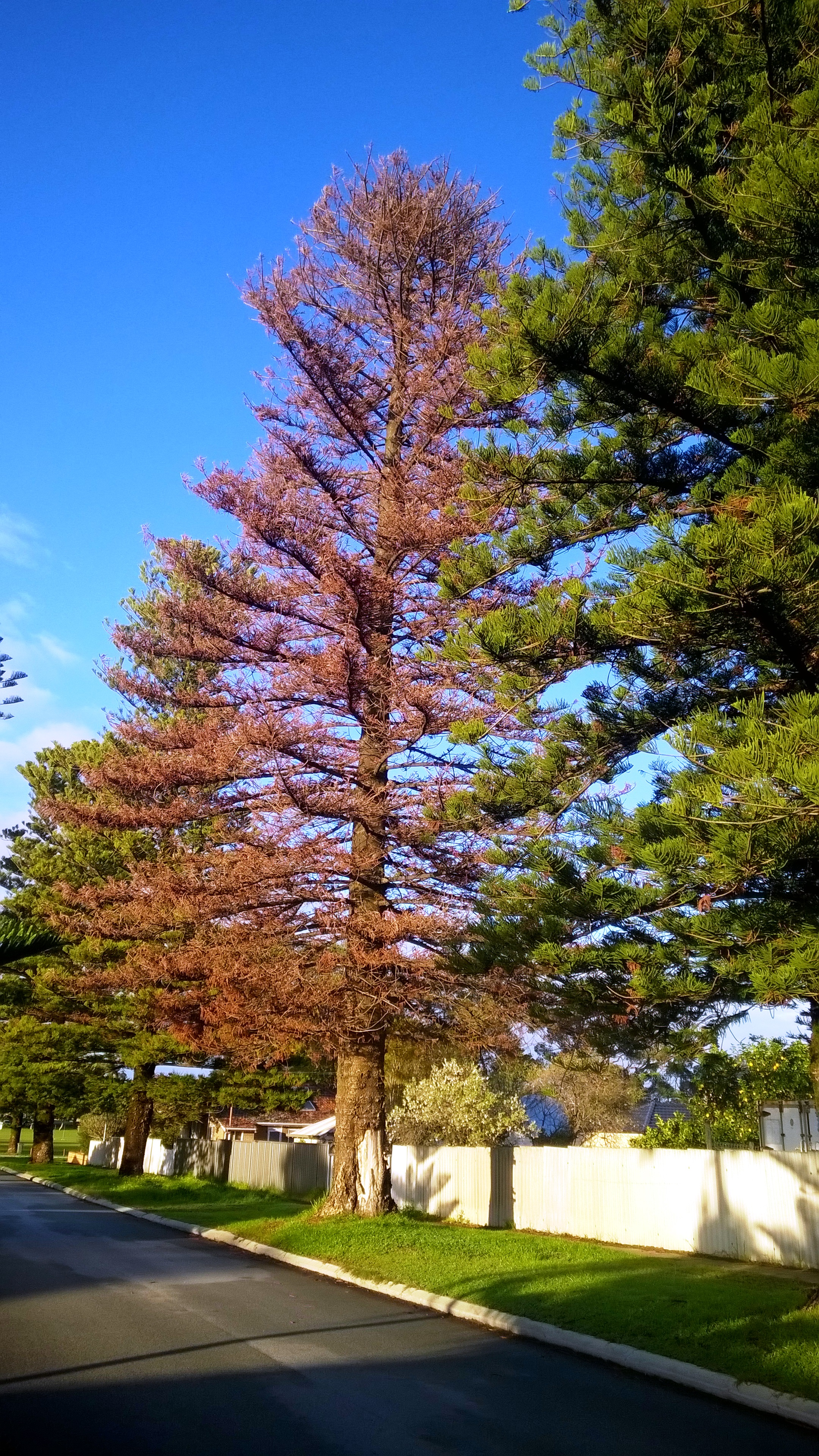 And information network araucaria heterophylla norfolk pine - The Surrounding Soil Will Also Be Remediated Before Installing A Young Replacement Norfolk Island Pine Tree