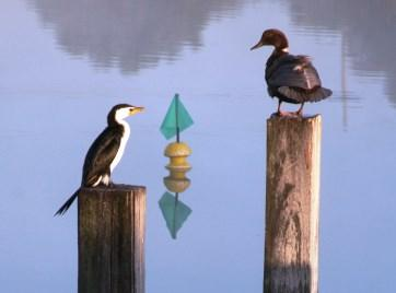 Birdlife at Booyeembara Park